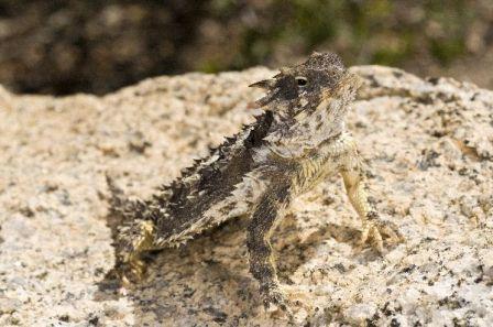 lagarto con cuernos