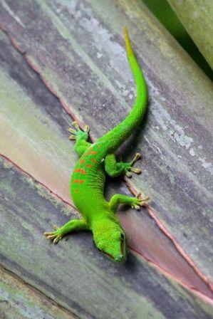 gecko o salamandra