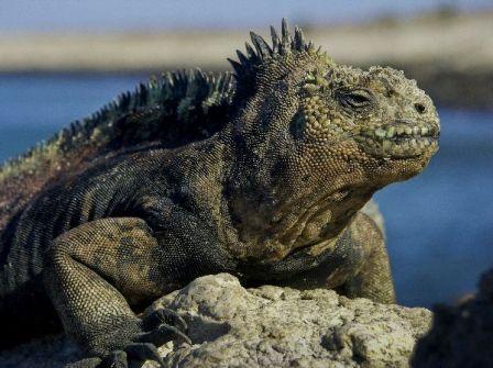 iguana marian en galapagos