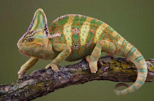 lagarto camaleon
