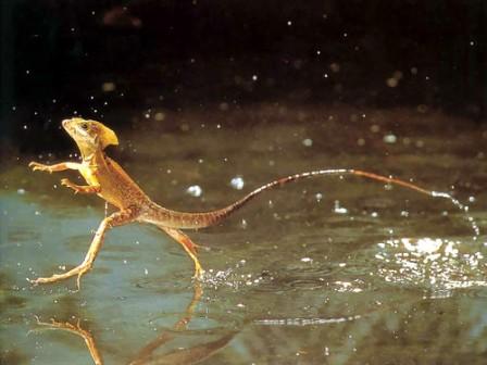 basilisco comun corriendo en el agua