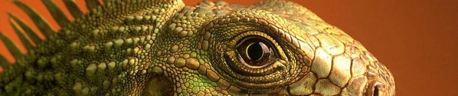Gecko Leopardo » LAGARTOPEDIA