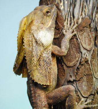 lagarto con chorreras