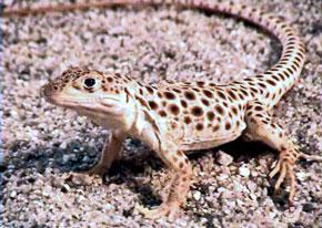 lagarto leopardo