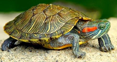 Tipos de Tortugas » LAGARTOPEDIA